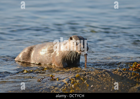 Otter lutra lutra eating a fish on the shoreline of the Isle of Mull near croggan - Stock Photo