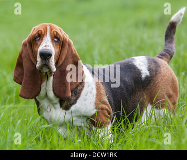Tri-coloured basset hound standing in grass, posing - Stock Photo