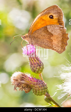 Close-up of a Meadow Brown butterfly (Maniola jurtina) feeding on a thistle flower, ventral (side) view - Stock Photo