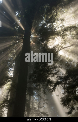 Rays of sunshine filtering through clouds in a redwood forest creating unusual light channels and reflections - Stock Photo
