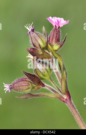 Red Campion - close up of the flowering head. Silene dioica - Stock Photo