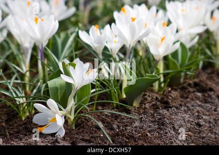 white crocus flowers - Stock Photo