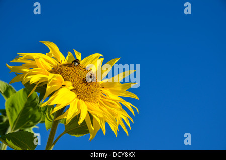 Bumble-bees on a sunflower at a clear blue sky - Stock Photo