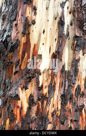 Close up of Eucalyptus Tree Bark Andalucia Spain - Stock Photo