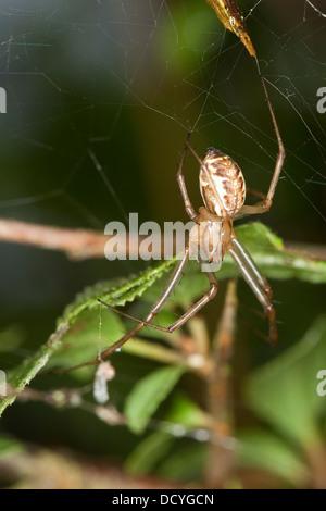 sheet-web spider, Money Spider, sheet-web weaver, line-weaving spider, line weaver, Baldachinspinne, Linyphia triangularis - Stock Photo