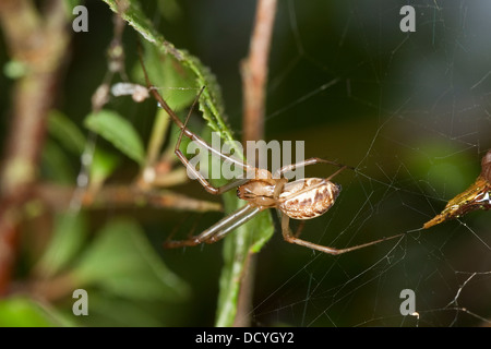 sheet-web spider, Money Spider, sheet-web weaver, line-weaving spider, line weaver, Baldachinspinne, Linyphia triangularis - Stock Photo