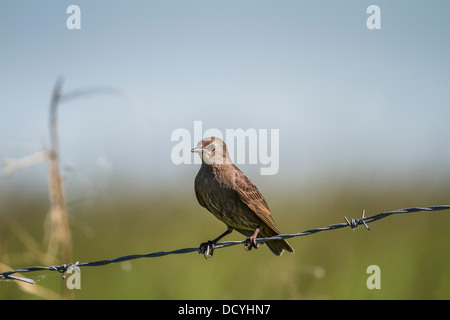 Juvenile European Starling (Sturnus vulgaris) Sitting on barbed wire fence. Rural Alberta, Canada - Stock Photo