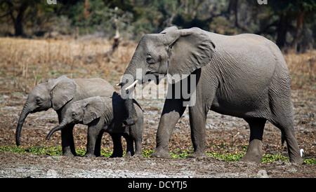 Loxodonta africana, elephants at Lower Zambezi National Park, Zambia - Stock Photo