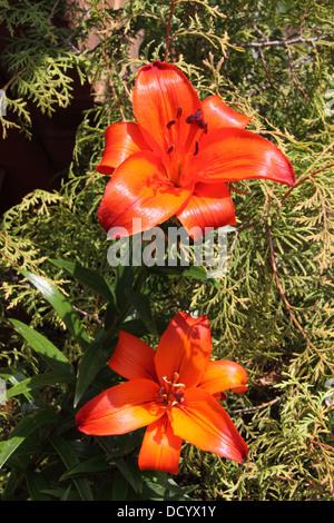 Orange Asiatic Lilies ( Lilium ) - Stock Photo