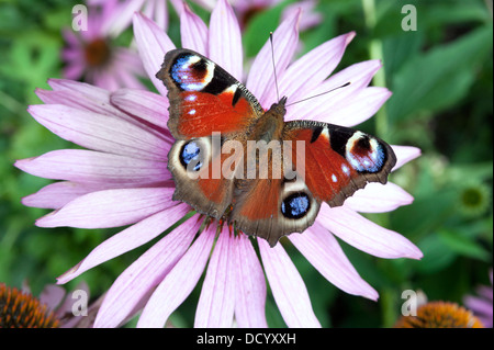 Peacock butterfly (Inachis io) on a flower, Shropshire, UK - Stock Photo