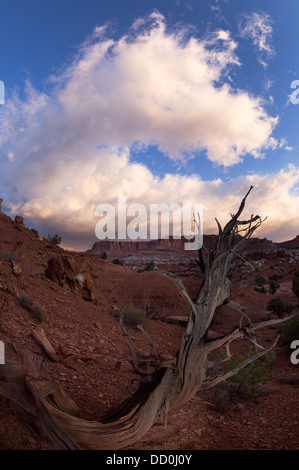 Single dead tree outlined against blue sky with pink cloud formation, root formation visible, red rock valley landscape, - Stock Photo