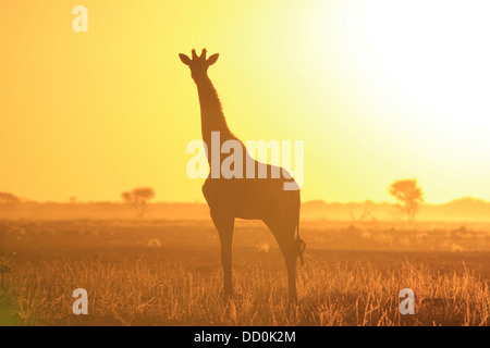 Giraffe Sunset Silhouette Background of Color and Beauty from Wild Africa - Stock Photo