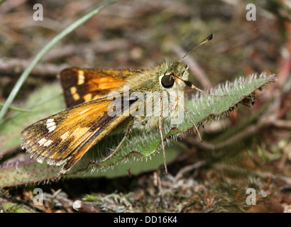 Silver-spotted or  Branded Skipper (Hesperia comma) with wings opened and closed - Stock Photo