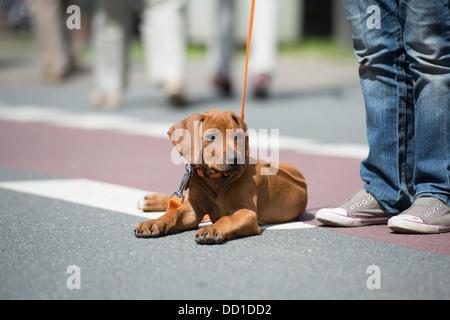 Rhodesian Ridgeback Puppy Dog Laying in Street - Stock Photo