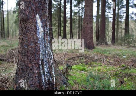 liquid pitch, tree gum, common spruce, Baumharz, Harz, Fichtenharz, Fichte, Rotfichte, Picea abies - Stock Photo