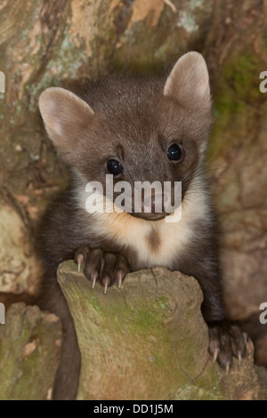 european pine marten baby baummarder tierbaby baum marder stock photo 59657971 alamy. Black Bedroom Furniture Sets. Home Design Ideas