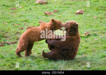 brown bear (Ursus arctos). youngs playing - Stock Photo