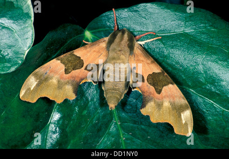 Lime Hawk Moth, Mimas tiliae, UK - Stock Photo