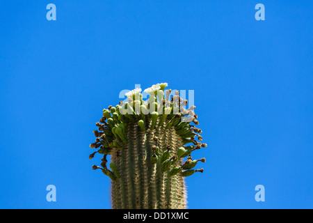 Flowering Saguaro cactus, Saguaro National Park West, Tucson, Arizona, USA - Stock Photo