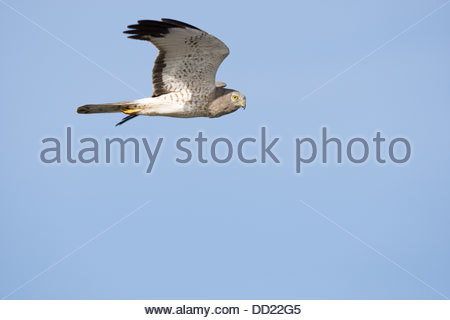 Northern Harrier Hawk; Circus cyaneus - Stock Photo