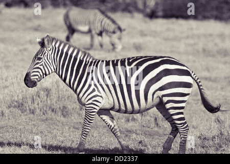 Close up side view of Burchell's zebra walking in grass with another zebra in background, desaturated image, Lewa - Stock Photo