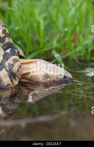 Leopard Tortoise (Geochelone pardalis). Drinking, head almost totally immersed. - Stock Photo