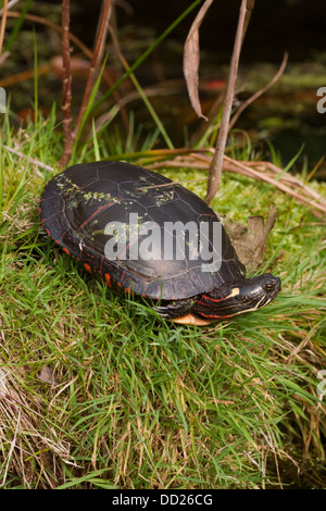Midland Painted Turtle (Chrysemys picta marginata). Adult female. Distribution, northern Alabama to Michigan Ontario - Stock Photo