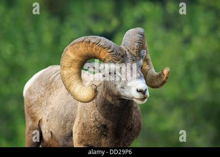 Bighorn Sheep Ram (Ovis canadensis), Banff National Park, Alberta, Canada - Stock Photo