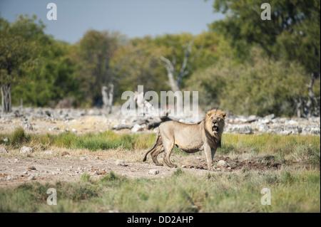 Male lion (Panthera leo) approaching a waterhole, Etosha Nationalpark, Namibia - Stock Photo