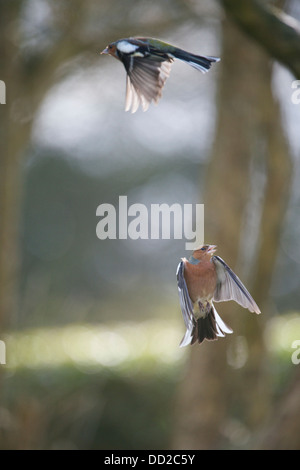 Welsh Garden Birds: Chaffinches in flight - Stock Photo