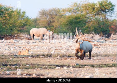 Two Black rhinos (Diceros bicornis) one running and a lioness (Panthera leo) watching,  Etosha Nationalpark, Namibia - Stock Photo