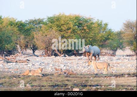 Black rhino (Diceros bicornis) and two a lionesses (Panthera leo), Rietfontein waterhole in Etosha Nationalpark, - Stock Photo