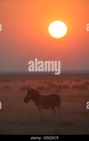 Burchell's zebra (Equus quagga burchellii) at sunset on the short grass plains in Etosha National park, Namibia - Stock Photo
