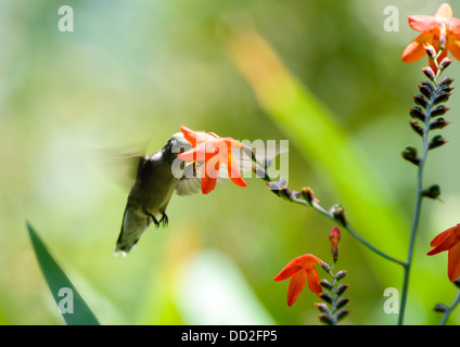 A female Ruby-throated Hummingbird (Archilochus colubris) hovers by a flower. - Stock Photo