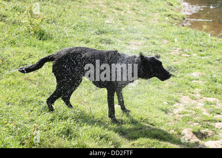 A wet dog shakes to get rid of the water. - Stock Photo