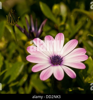 Light purple / lilac / pink flower of Cape Daisy with young buds in background - Stock Photo