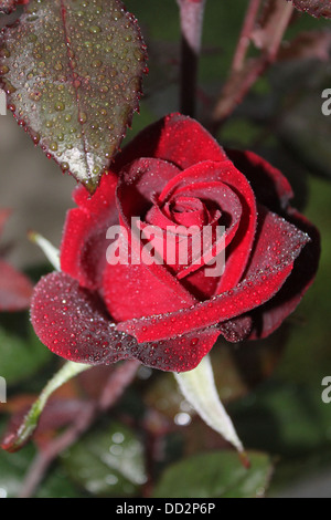 Pink and Red velvet rose after mist - Stock Photo