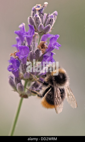 Buff- Tailed Bumble Bee-Bombus terrestris feeding on English Lavender-Lavandula. Summer. Uk - Stock Photo