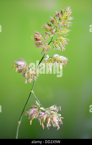 Yorkshire Fog Grasses, Holcus lanatus, vertical portrait of brown head flowers with nice out focus background. - Stock Photo