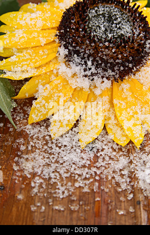 Christmas decoration. Sunflower on old wooden plank under snow - Stock Photo