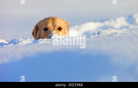 A Dog Buried In Snow With His Head Peeking Out; Spruce Grove, Alberta, Canada - Stock Photo