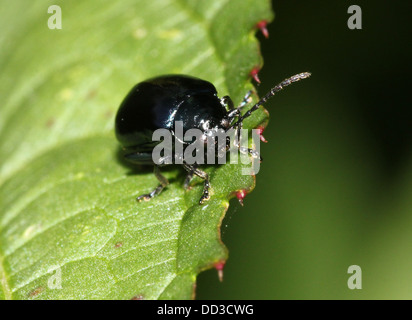 Blue Mint Beetle (Chrysolina coerulans) - Himmelblauer Blattkäfer - Stock Photo