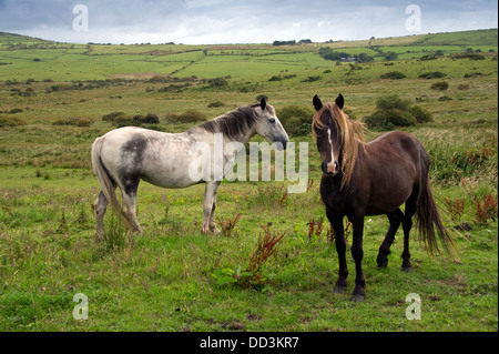 Wild ponies on Bodmin Moor, near Bolventor, Cornwall. a UK - Stock Photo
