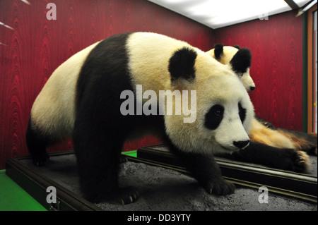 A stuffed female Giant Panda = Ailuropoda melanoleuca