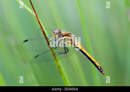 Black Darter Dragonfly; Sympetrum danae; Female; Cornwall; UK - Stock Photo