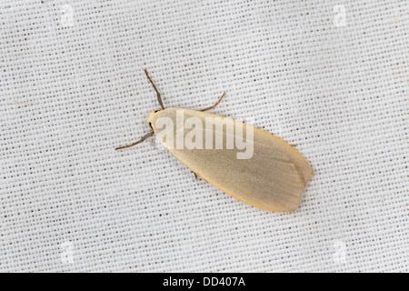 Dingy Footman Moth; Eilema griseola; Summer; UK - Stock Photo