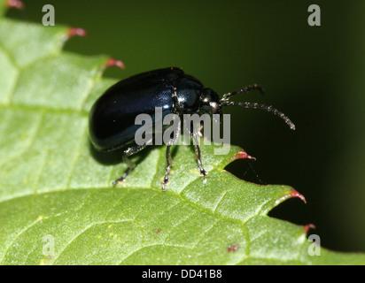 Blue Mint Beetle (Chrysolina coerulans) - Himmelblauer Blattkäfer - Stock Photo
