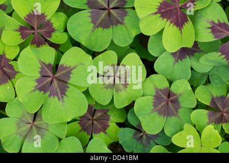 Oxalis tetraphylla 'Iron Cross' leaves, August, England - Stock Photo