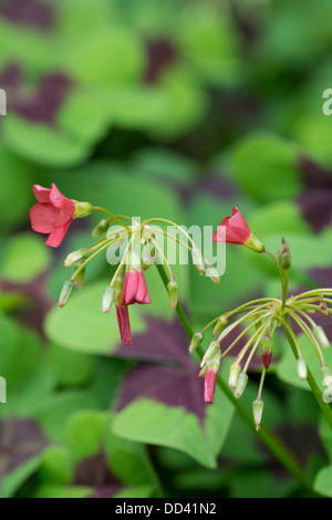 Oxalis tetraphylla 'Iron Cross' showing flowers breaking bud, August, England. - Stock Photo