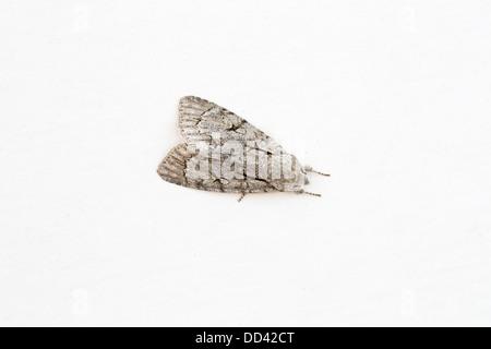 Grey Dagger Moth; Acronicta psi; female; Summer; UK - Stock Photo